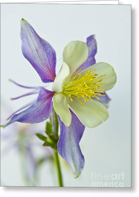 """nature Photography Prints"" Greeting Cards - Colorado Rocky Mountain Columbine Greeting Card by James BO  Insogna"