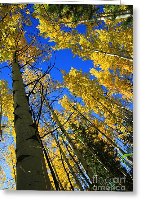 Yellow Trees Greeting Cards - Colorado Sun Greeting Card by Dana Kern
