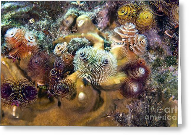 Undersea Photography Greeting Cards - Colorful Christmas Tree Worms, Key Greeting Card by Terry Moore