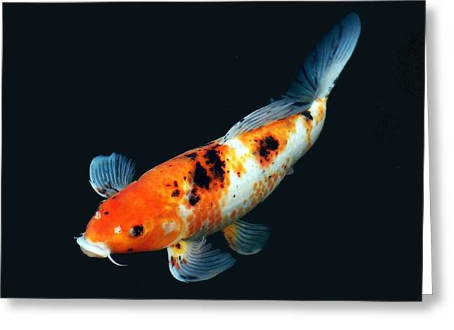Oranda Greeting Cards - Colorful Koi Greeting Card by Don Mann