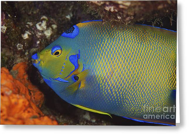 Bonaire Greeting Cards - Colorful Queen Angelfish Greeting Card by Terry Moore