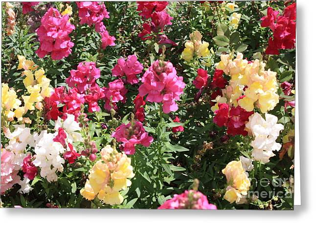Snapdragons Greeting Cards - Colorful Snapdragons in San Antonio Greeting Card by Carol Groenen