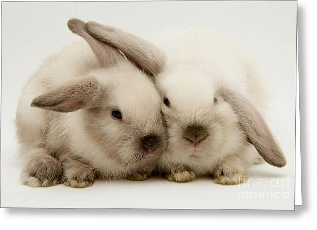 Colorpoint Greeting Cards - Colorpoint Baby Lop Rabbit Greeting Card by Jane Burton