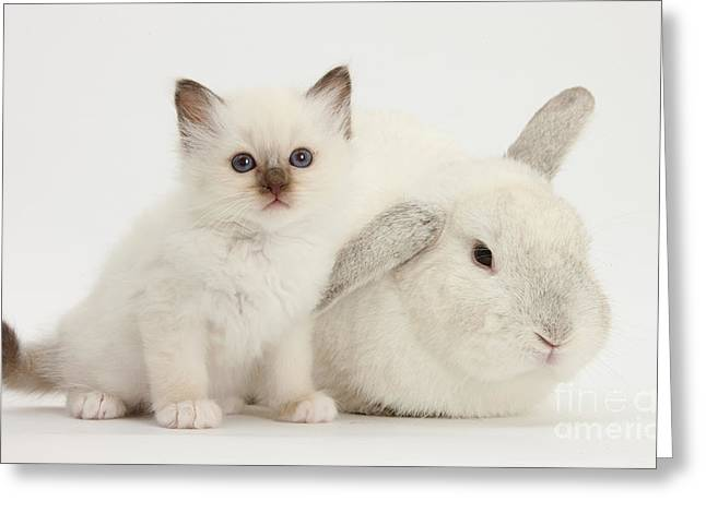 House Pet Greeting Cards - Colorpoint Kitten And White Rabbit Greeting Card by Mark Taylor