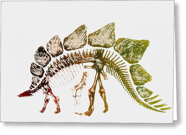 Stegosaurus Greeting Cards - Coloured Engraving Of A Stegosaurus Dinosaur Greeting Card by Mehau Kulyk