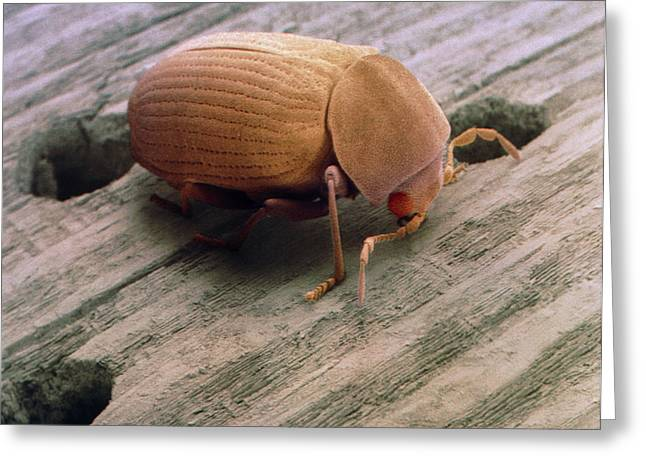Invertebrates Greeting Cards - Coloured Sem Of Woodworm Beetle Emerging From Wood Greeting Card by Power And Syred