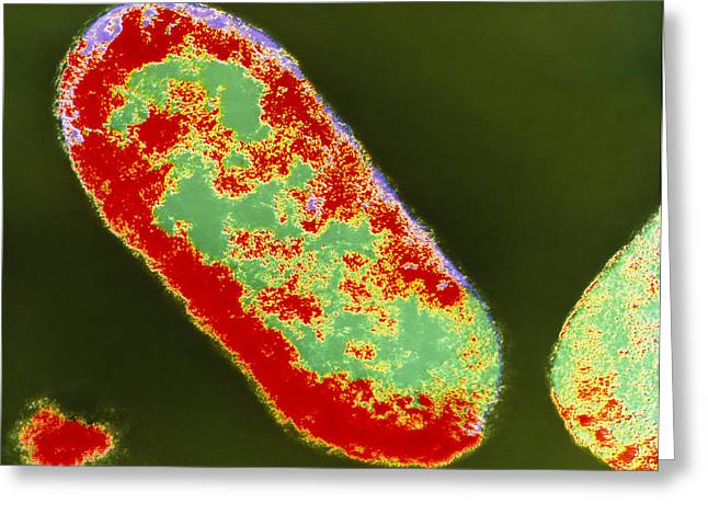 Coloured Tem Of Shigella Sp. Bacteria Greeting Card by London School Of Hygiene & Tropical Medicine