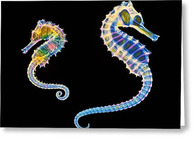 Ray Fish Greeting Cards - Coloured X-ray Of Two Seahorses, Hippocampus Sp. Greeting Card by D. Roberts