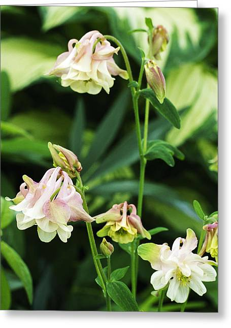 Granny Greeting Cards - Columbine (aquilegia grannys Bonnet) Greeting Card by Archie Young
