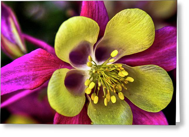 Columbine Greeting Cards - Columbine Flower Greeting Card by David Patterson