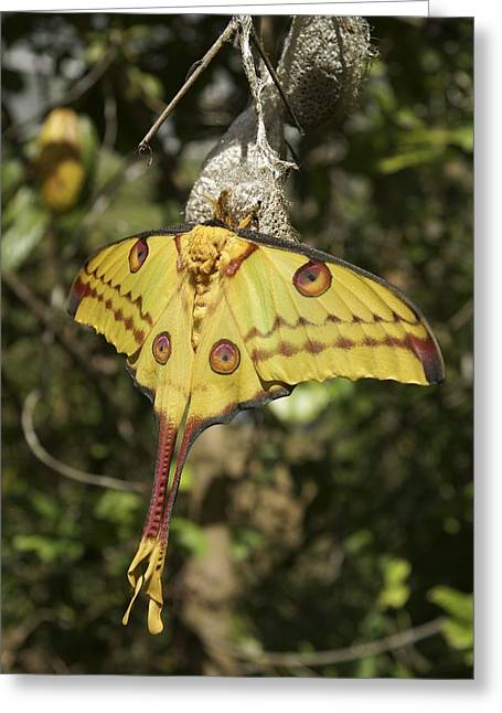 Cocoon Greeting Cards - Comet Moth Greeting Card by Photostock-israel