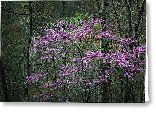 Red Bud Trees Greeting Cards - Coming Out Greeting Card by JC Findley