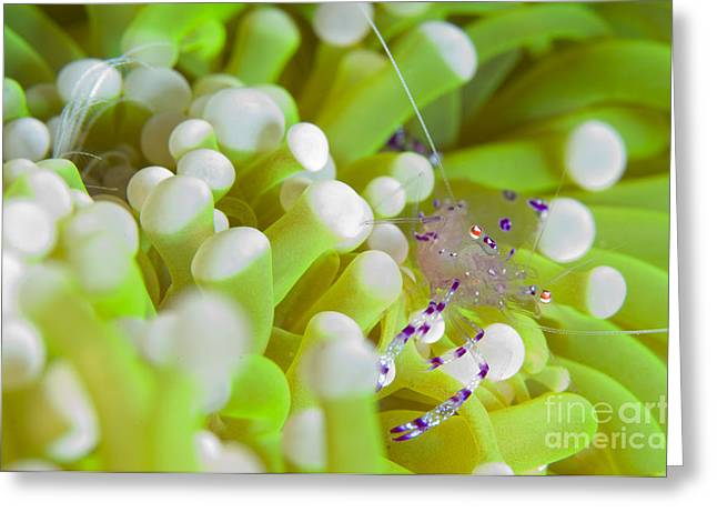 New Britain Greeting Cards - Commensal Shrimp On Green Anemone Greeting Card by Steve Jones