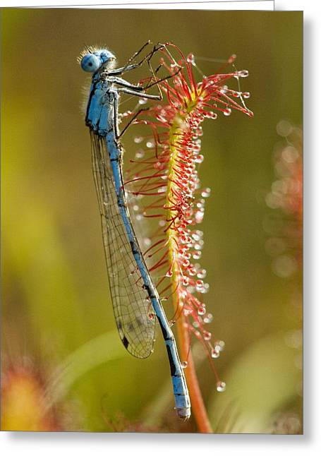 Entrap Greeting Cards - Common Blue Damselfly On A Sundew Leaf Greeting Card by Bob Gibbons