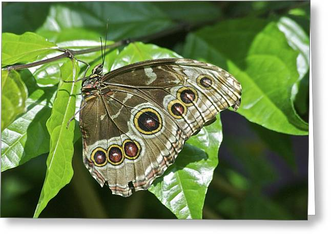 Lovely Owl Greeting Cards - Common Blue Morpho 2917 Greeting Card by Michael Peychich