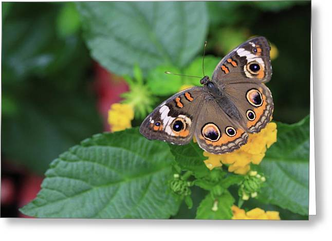 Buckeye Greeting Cards - Common Buckeye II Greeting Card by Rick Berk