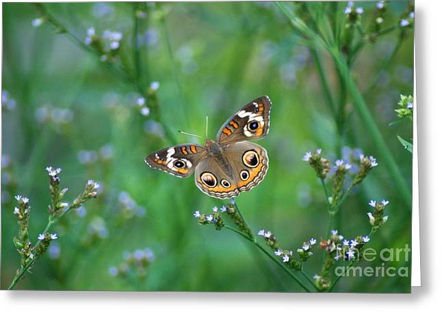 Orange And Brown Wings Greeting Cards - Common Buckeye Greeting Card by Kathy Gibbons