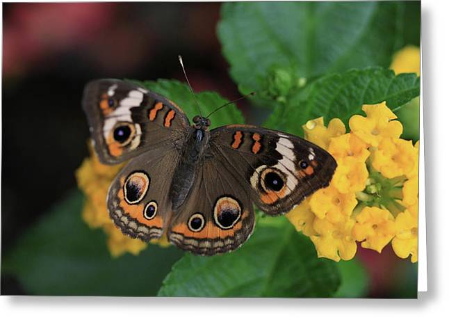 Buckeye Greeting Cards - Common Buckeye Greeting Card by Rick Berk