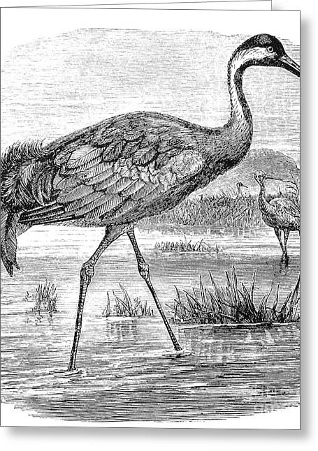Common Crane Greeting Card by Granger