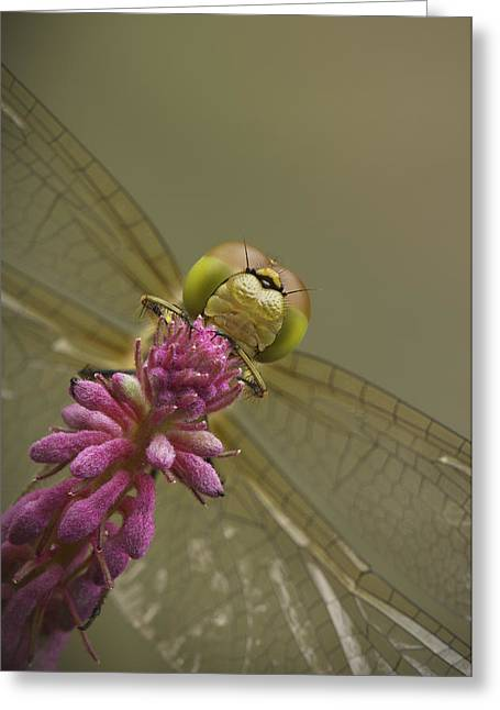 Odonata Greeting Cards - Common Darter Dragonfly Greeting Card by Andy Astbury