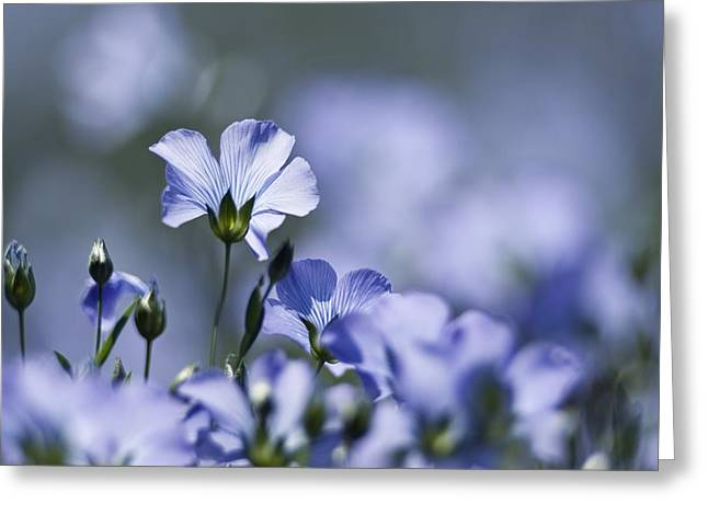 Lint Greeting Cards - Common Flax (linum Usitatissimum) Greeting Card by Adrian Bicker