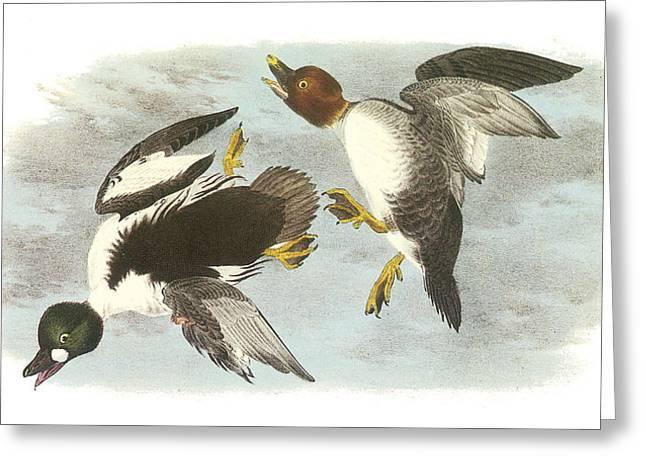 Water Fowl Paintings Greeting Cards - Common Goldeneye Greeting Card by John James Audubon