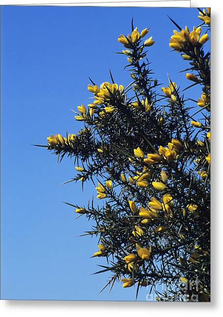 Prick Greeting Cards - Common Gorse Greeting Card by David Aubrey
