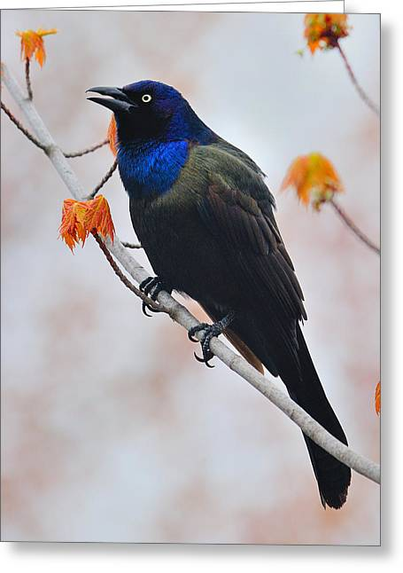 Common Grackle Greeting Card by Tony Beck