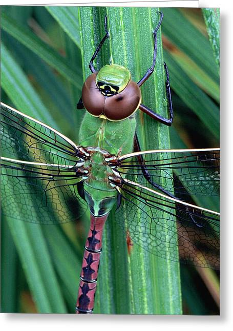 Green Darner Dragonflies Greeting Cards - Common Green Darner Greeting Card by Bill Morgenstern