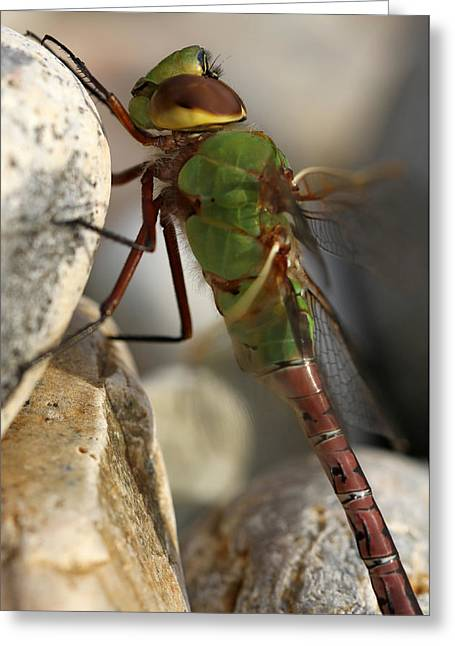 Green Darner Dragonflies Greeting Cards - Common Green Darner Dragonfly Greeting Card by Juergen Roth