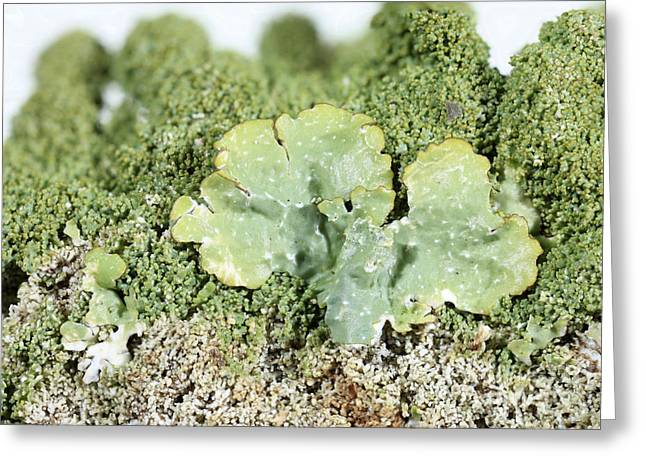 Blending Photographs Greeting Cards - Common Greenshield Lichen Greeting Card by Ted Kinsman