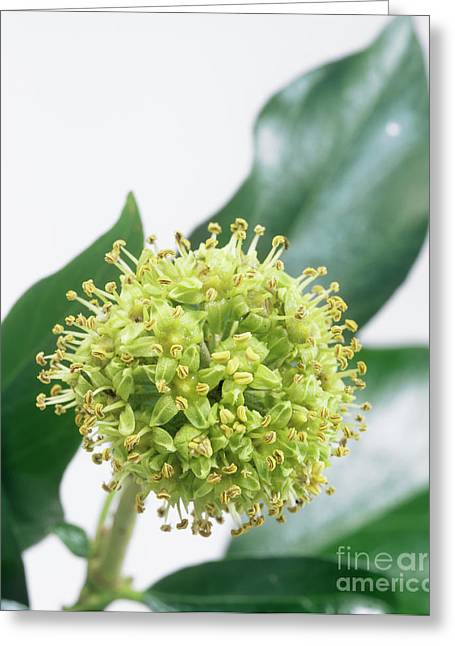 Common Ivy (hedera Helix) Flower Head Greeting Card by Sheila Terry