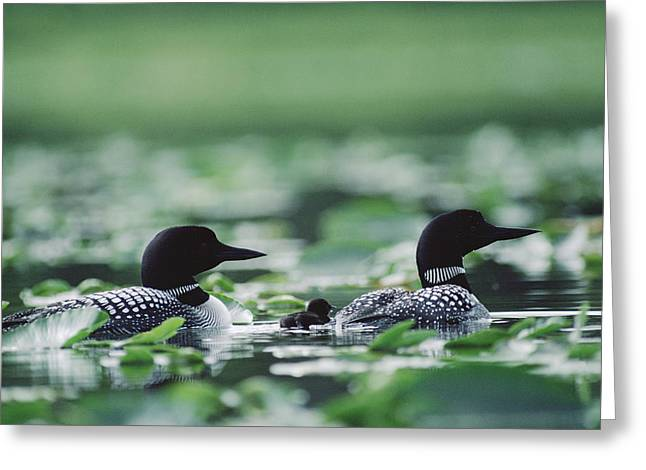 Common Loon Gavia Immer Mated Couple Greeting Card by Michael Quinton