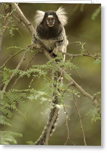 Tufted Ears Greeting Cards - Common Marmoset Callithrix Jacchus Greeting Card by Pete Oxford