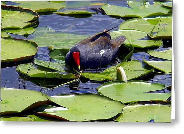 Recently Sold -  - Water Fowl Greeting Cards - Common Moorhen Greeting Card by Daniel Burnstein