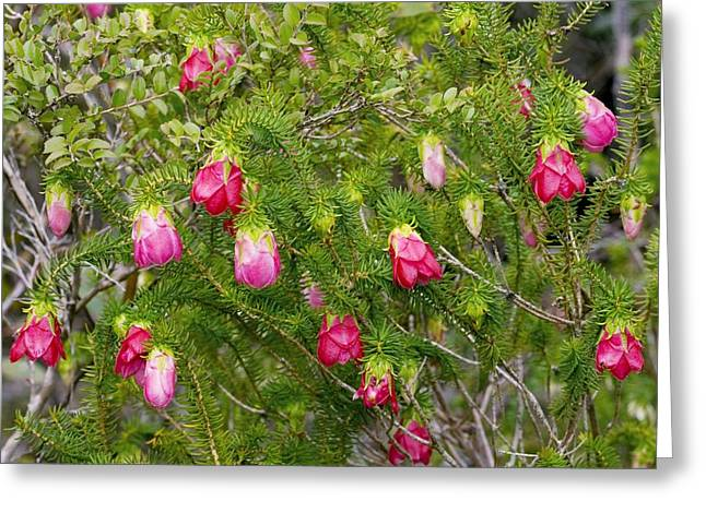 Green Foliage Greeting Cards - Common Mountain Bell (darwinia Lejostyla) Greeting Card by Bob Gibbons