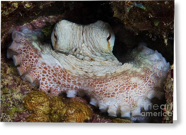 Bonaire Greeting Cards - Common Octopus Guards Its Lair Greeting Card by Terry Moore