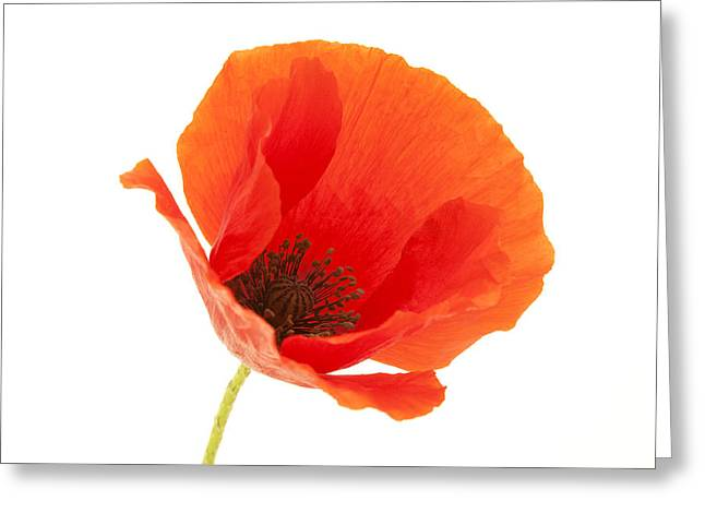 White Background Greeting Cards - Common Poppy flower Greeting Card by Fabrizio Troiani