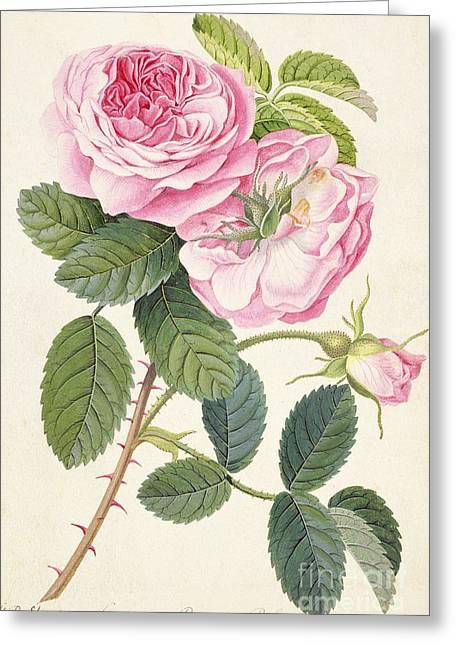 Blue Flowers Greeting Cards - Common Provence Rose Greeting Card by Georg Dionysius Ehret