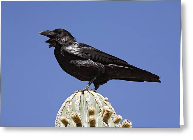 Corvus Corax Greeting Cards - Common Raven Greeting Card by Bob Gibbons