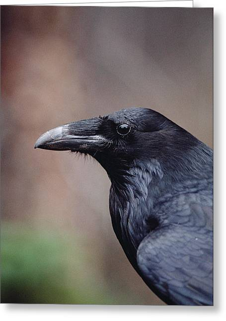 Corvus Corax Greeting Cards - Common Raven Corvus Corax Portrait Greeting Card by Michael Quinton