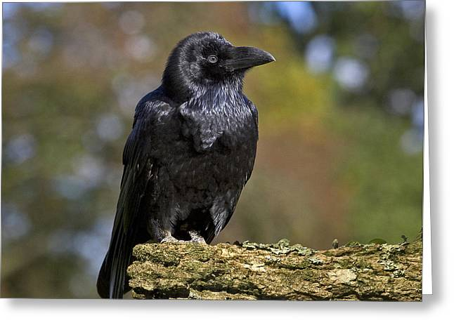 Corvus Corax Greeting Cards - Common Raven Greeting Card by Linda Wright