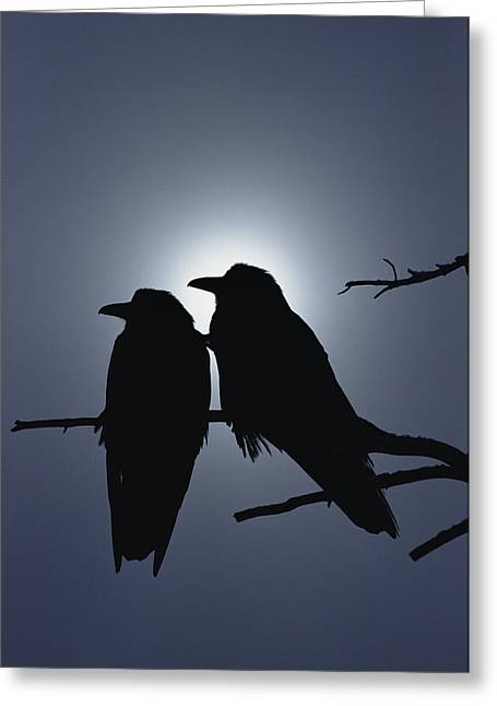 Corax Greeting Cards - Common Raven Pair Perching Greeting Card by Michael Quinton