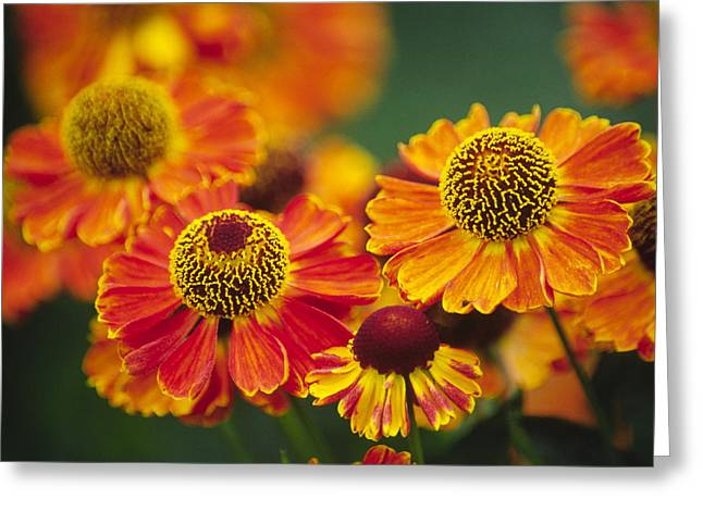 Sneezeweed Greeting Cards - Common Sneezeweed (helenium Autumnale) Greeting Card by Dr. Nick Kurzenko
