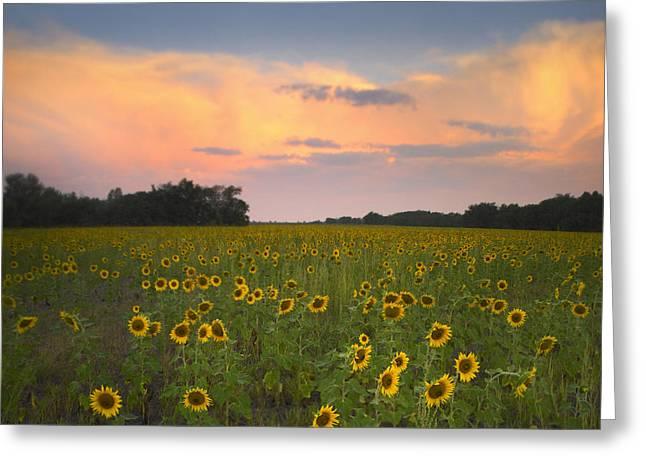 Common Sunflower Field Near Flint Hills Greeting Card by Tim Fitzharris