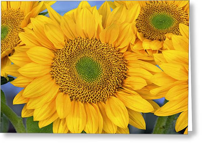 Yellow Sunflower Greeting Cards - Common Sunflower Group Showing Greeting Card by Tim Fitzharris