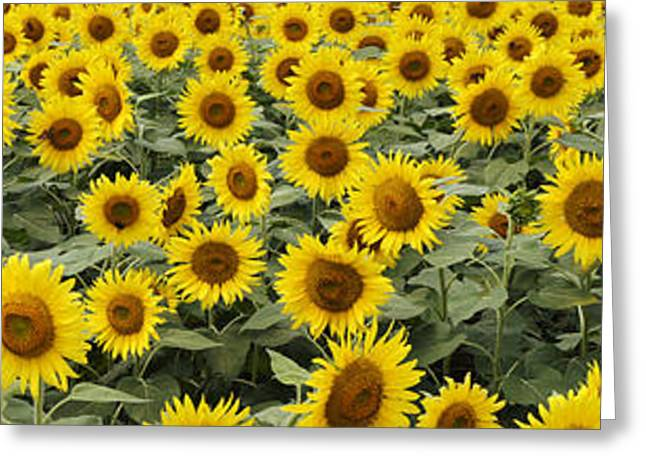 Yellow Sunflower Greeting Cards - Common Sunflower Helianthus Annuus Greeting Card by Hiroya Minakuchi