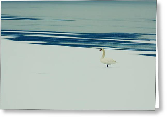 Cygnus Greeting Cards - Common swan Greeting Card by Gabriela Insuratelu