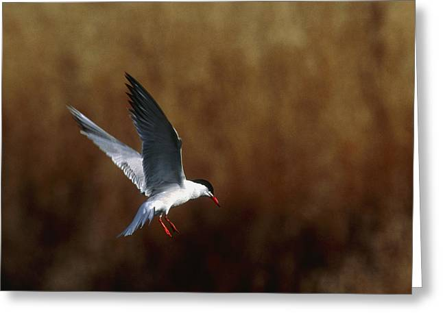 Tern Greeting Cards - Common Tern Flying Greeting Card by Andy Harmer