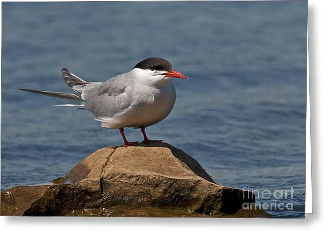 Seabirds Greeting Cards - Common Tern... Greeting Card by Nina Stavlund